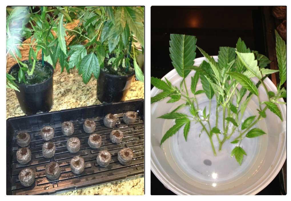 Vegetativný vs. reprodukčný rast